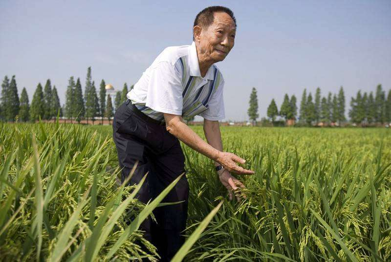 «أبو الأرز الهجين» يوان لونغ بينغ